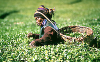 Tea fields near the Kakamega forest. The people of this area in Kenya are Luyha, the second largest tribe in Kenya of about 3.1 million people.