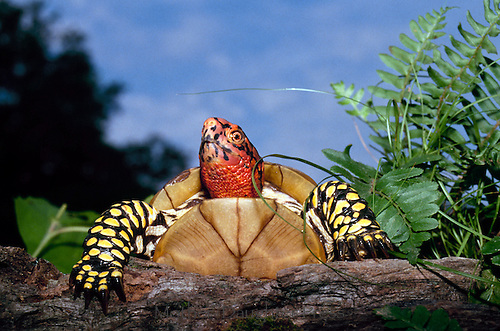 Male ornate Box turtle climbing over log on summer evening in summer garden, Missouri USA