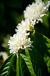Coffee flowers, Flores, Indonesia