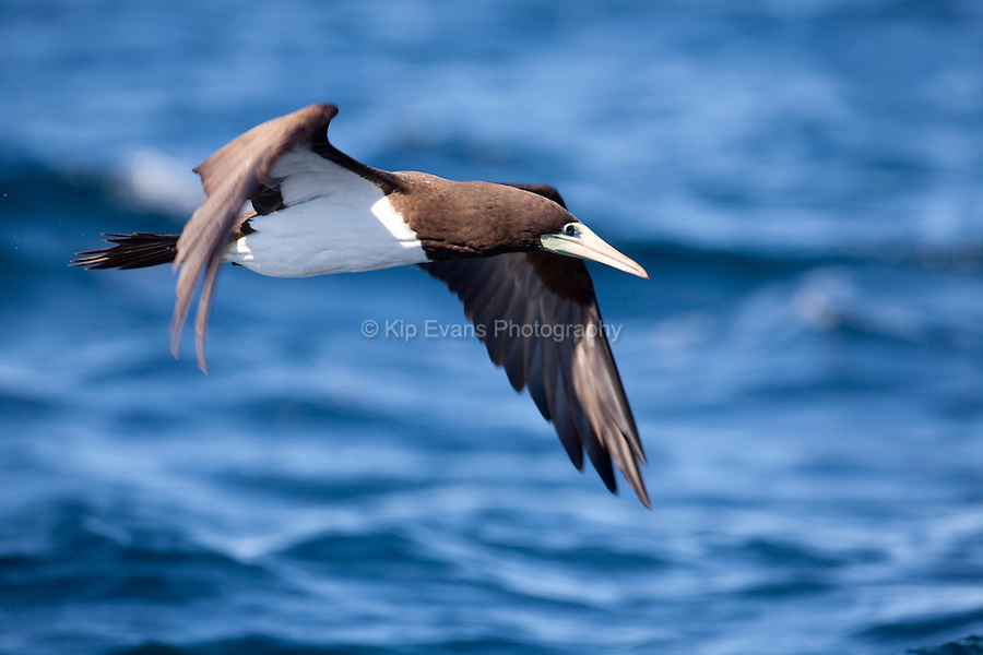 Brown Booby (Sula leucogaster) takes off in Kino Bay, Mexico.