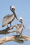 Pelicans & Fishing Bird Photos