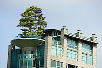 Ornamental tree on top of a high rise apartment building in downtown Vancouver, BC, Canada
