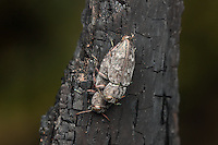 A pair of Metallic Wood-boring Beetles (Chrysobothris rugosiceps) mate on the charred remains of a burned tree.