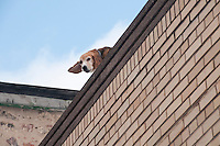A beagle on a roof in downtown Calumet Michigan.