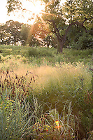 Meadow garden in morning light through walnut tree at River Farm, Virginia, American Horticultural Society with Sand Love Grass (Eragrostis trichodes)