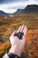 Persons hand hold freshly picked wild blue berries in arctic wilderness, Lapland, Sweden