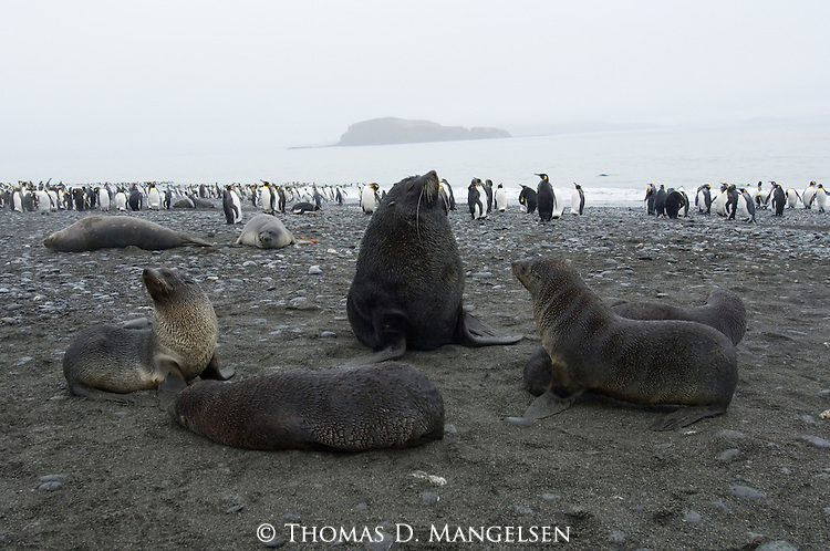 Antarctic fur seals with king penguins on Prion Island, South Georgia.