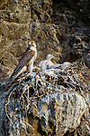 Saker falcon with chicks at nest, Gobi Gurvansaikhan National Park, Mongolia.