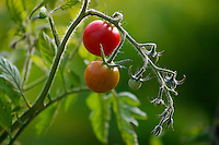 Cherry tomatoes growing in the garden.