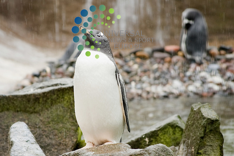 Gentoo penguins born at Edinburgh Zoo in spring this year have moved into a smaller outdoor enclosure to learn the penguin basics, including swimming and taking food from a keeper. Picture: Jon Davey Universal News and Sport (Europe) 10 August 2011 ..