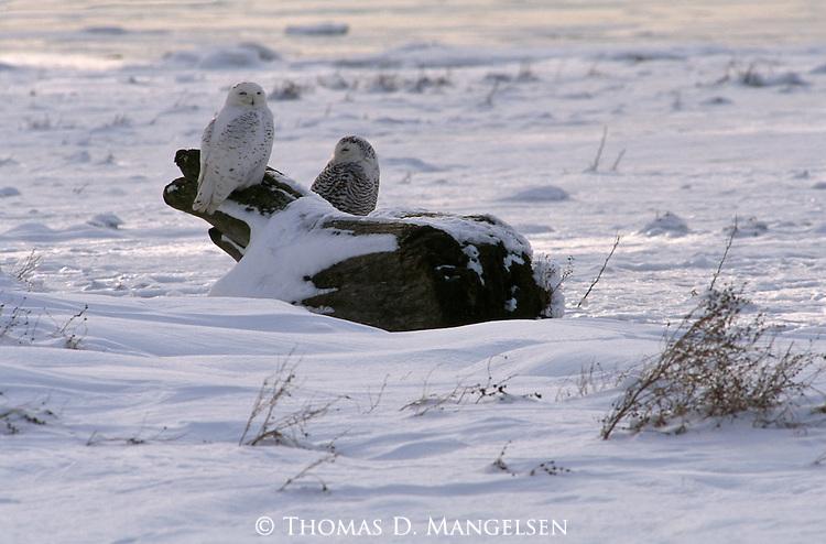 Snowy Owls perched on a log.