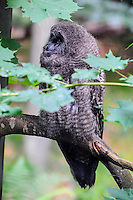 Sweden. Sweden. Nordens Ark (Ark of the North) is a zoo in Bohuslän. The great grey owl is one of Sweden's largest owls.