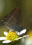 False Ilex Hairstreak Butterfly, Satyrium esculi, on white flower, side view, Provence.France....