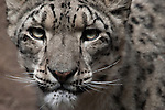 Snow Leopard portrait.  Snow Leopards are an endangered species. Captive