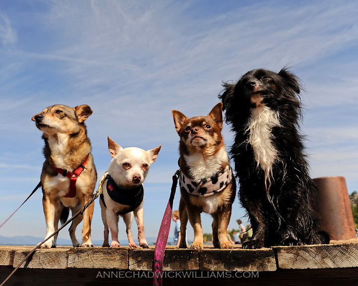 little dogs lake tahoe jpg little rescue dogs including chihuahuas ...