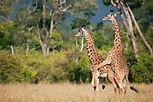 Maasai Giraffe males dominance mating (Giraffa camelopardalis tippelskirchi), Maasai Mara National Reserve, Kenya.