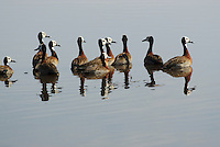 Whistling teal aka whitefaced duck (dendrocygna viduata).<br /> Moremi, Botswana.<br /> September 2007.