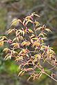 New foliage of Japanese maple (Acer palmatum 'Orange Dream'), early April.