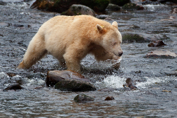 "Kermode ""Spirit"" Bear chasing a pink salmon"
