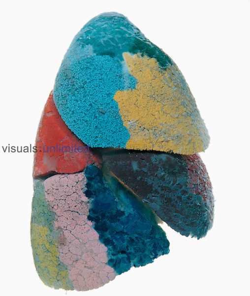 Resin cast of a human lung showing each lobe in a different color. The lungs take in around 0.5 liters of air in every breath, with around 12 breaths per minute at rest. The lungs have a large network of airways, which gives them a huge surface area for oxygen to diffuse into the blood and carbon dioxide to diffuse out.