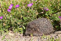 Europäischer Igel im Garten, Blumenbeet, Westigel, Braunbrustigel, West-Igel, Braunbrust-Igel, Erinaceus europaeus, western hedgehog, European hedgehog