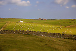 Europe, United Kingdom, Wales. Scenic Welsh countryside dotted with sheep and farms.