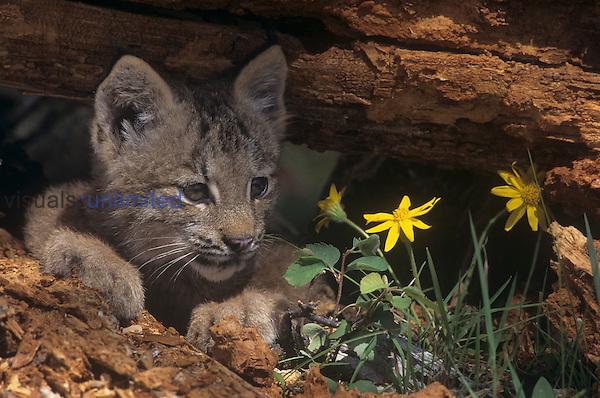 Canada Lynx kitten ,Lynx canadensis,, North America.