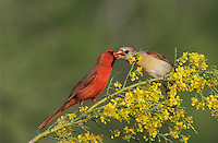 Northern Cardinal, Cardinalis cardinalis, male feeding female on blooming Paloverde (Parkinsonia texana) , Starr County, Rio Grande Valley, Texas, USA