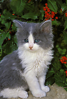 Cute grey and white kitten with blue eyes sitting on a rock in the garden near holly bush, Missouri, USA