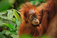 Sumatran Orangutan baby clinging to mother (Pongo abelii), Gunung Leuser National Park, Northern Sumatra, Indonesia