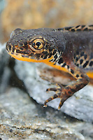 Head of an Alpine Newt  (Mesotriton alpestris), Italy