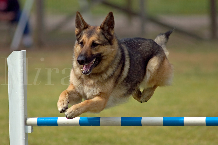 German Shepherd jumping during an agility competition in Gloucester, VA