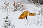 A red fox digs in the snow looking for rodents in Jasper National Park, Alberta Canada.