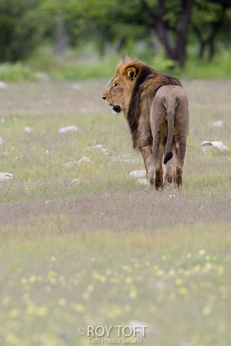 African Lion (Panthera leo) walking through the grass, Etosha Park, Namibia.