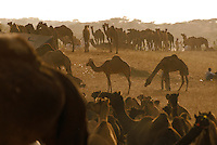 In the inhospitable Thar Desert in western India, the camel is critical to the survival of the desert wanderers and is used as a beast of burden, transportation, fuel, food, and money. During the annual Pushkar Camel Festival tens of thousands gather on the sands outside the city.
