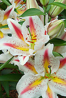 Three colors of oriental lily Starburst in white, red, and yellow with spots and blazes