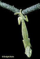 CH27-001a  African Chameleon - hanging by tail from branch - Chameleo senegalensis