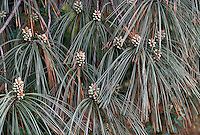 Pinus sabiniana  (Digger Pine,  Foothill Pine) gray pine needles detail