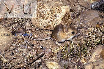 Merriam Kangaroo Rat (Dipodomys merriami) Arizona, USA