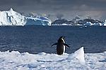 Antarctica Adelie penguin