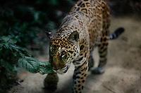Padre Cocha, Peru, September 14, 2013 - A full grown jaguar on the hunt.