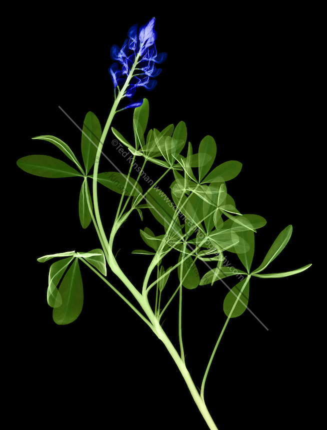 False color x-ray of a Texas bluebonnet, Lupinus texensis. Bluebonnets are the state flower of Texas. This species is a Texas endemic, being limited to Central Texas where it puts on a world famous spring floral display along roadsides and in fields and pastures.