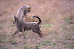 Cheetah, Matetsi Reserve, Zimbabwe