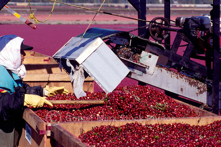 Richmond, BC, British Columbia, Canada - East Indian Agricultural Worker harvesting Cranberries (Vaccinium macrocarpon) from Flooded Bog Field, to Conveyor Belt to Crates, on Cranberry Farm
