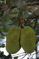 Asie/Singapour/Ile de Ubin: Fruits du jacquier