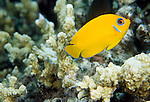 Moorea, French Polynesia; Lemonpeel Angelfish (Centropyge flavissimus), usually in harems, mimicked by juvenile Mimic Surgeonfish, found in coral-rich lagoons and seaward reefs to 25 meters, in the East Indo-Pacific Ocean region, Christmas & Cocos-Keeling Island to E. Philippines, Micronesia (except Palau and Yap), N. Papua New Guinea and French Polynesia, to 14 cm , Copyright © Matthew Meier, matthewmeierphoto.com All Rights Reserved