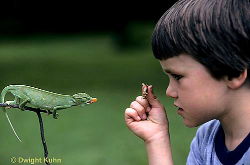 CH26-004z  African Chameleon - child holding insect, watching chameleon shoot out tongue - Chameleo senegalensis