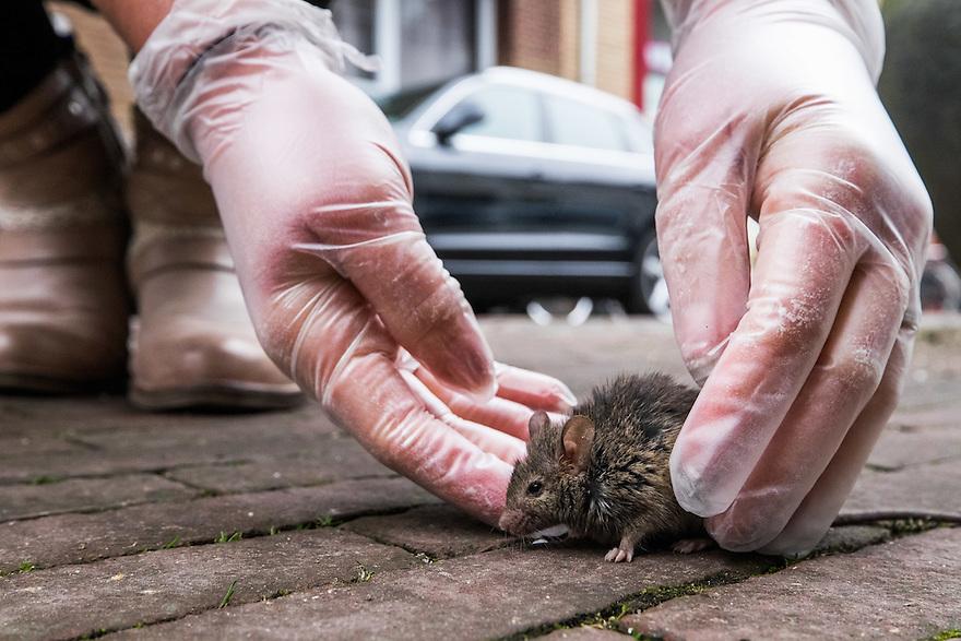 Nederland, Utrecht, 26 maart 2015<br /> Muis op straat. Niet helemaal gezond muisje loopt over straat.<br /> <br /> Foto: (c) Michiel Wijnbergh
