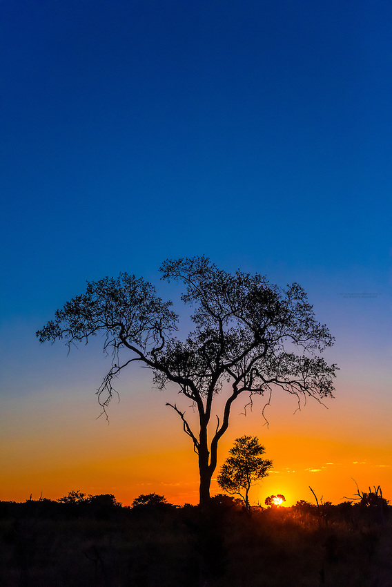Acacia tree, sunrise, Kwando Concession, Linyanti Marshes, Botswana.