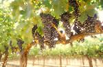 Cabernet vineyard near Rutherford, CA